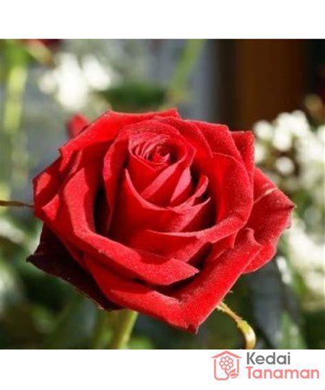 jual bunga mawar merah  lapak kedaitanaman kedaitanaman