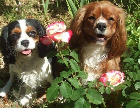 least aggressive breeds docile dogs breeds goldenacresdogs