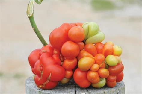 Bibit Tomat Indigo jual bibit sayuran jual bibit bunga murah