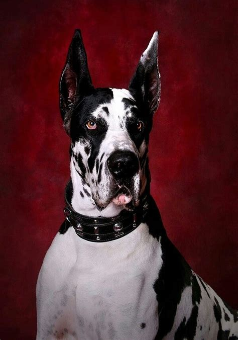 great dane colors harlequin 25 best harlequin great danes ideas on great