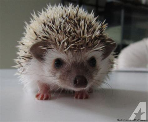 Aviation Home Decor baby hedgehogs for sale in glendale heights illinois