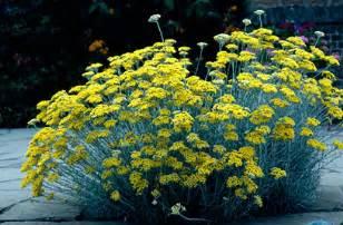 Flowers List Of Names - helichrysum italicum curry plant rhs gardening