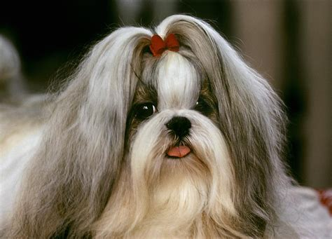 show shih tzu a shih tzu poses at a show photograph by rex a stucky