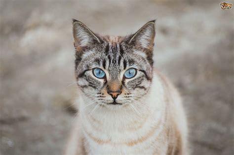 Ojos Azules   Rare Blue Eyed Cats   Pets4Homes