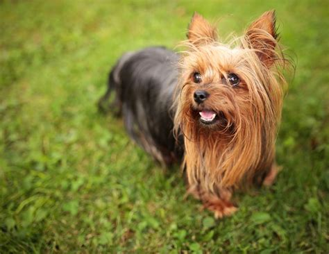 history of large yorkshire terriers with floppy ears can you guess the dog breed by just the ears quiz mnn