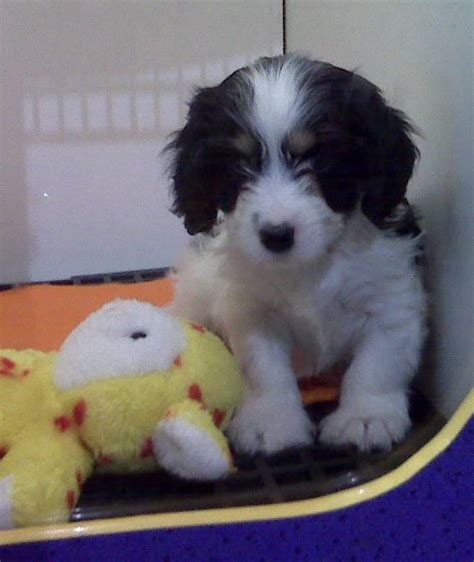 cavalier havanese mix cavanese cavalier king charles and havanese mix pictures and information