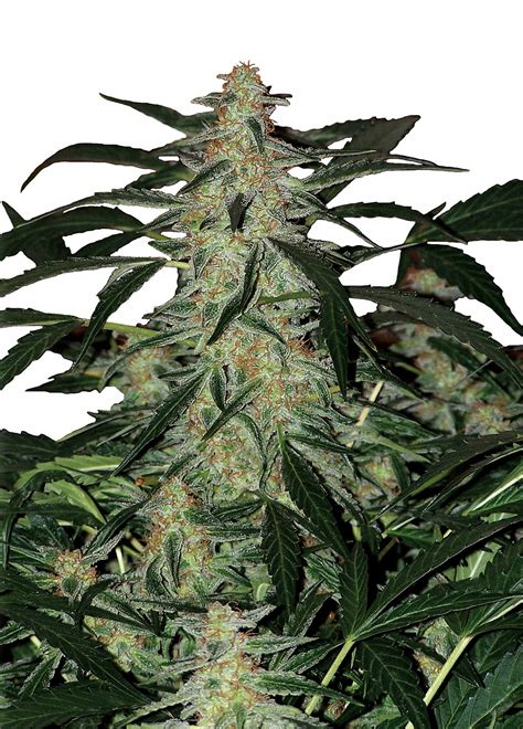 northern lights auto supply cannabis indica the essential guide deimos by buddha seeds