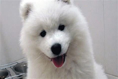 samoyed puppies for sale nj samoyed mid size puppies for sale in westchester new york