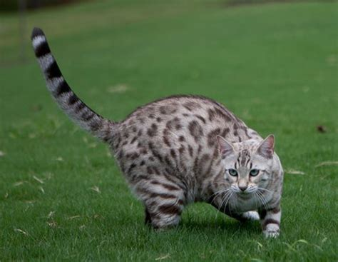 Guess Bengale 91 best bengal cats images on bengal