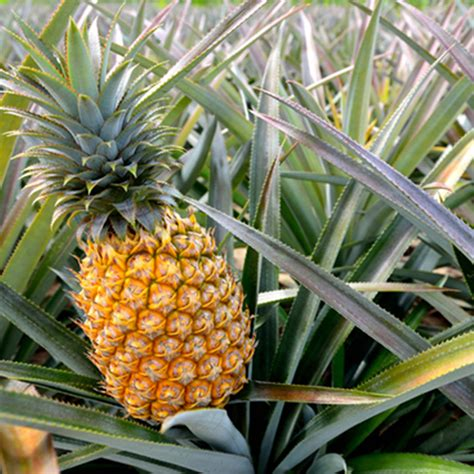 Pineapple Top planting a pineapple top jake journal