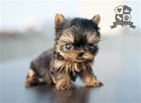yorkie sizes teacup size yorkie bringing the cutest and the tiniest pup flickr