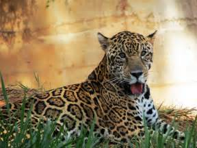Zoo Jaguar File Jaguar Belo Horizonte Zoo Portrait Jpg Wikimedia