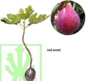 Bibit Buah Tin Israel bibit buah tin ara lengkap dan murah toko tanaman