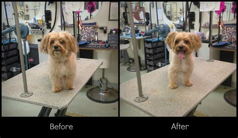 how to do a teddy cut on a pomeranian grooming teddy cut by queendreaveev on deviantart