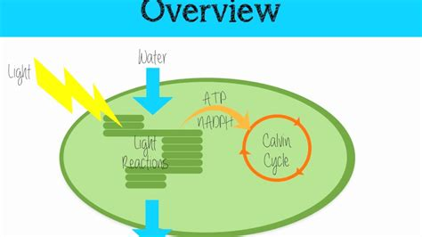 the light independent reaction of photosynthesis