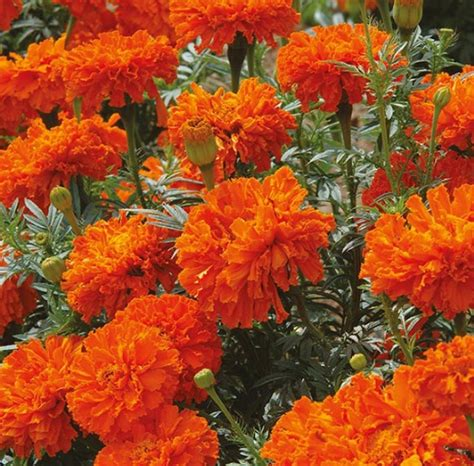 Tanaman Marigold Orange benih marigold kees orange 7 biji non retail