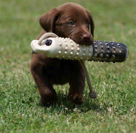 ta puppies tara s tarasdogtraining