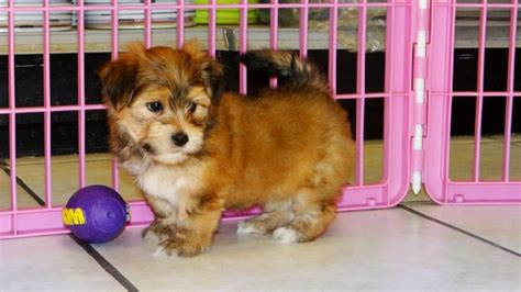 yorkie puppies for sale in columbus ga looking yorkie ton puppies for sale in atlanta ga at atlanta columbus