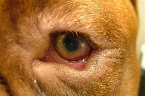 ectropion in dogs oogleden doorverwijspraktijk oogheelkunde