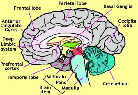 the largest section of the brain is the largest part of human brain search results brain anatomy