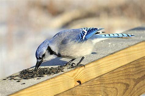 do birds eat sunflower seeds