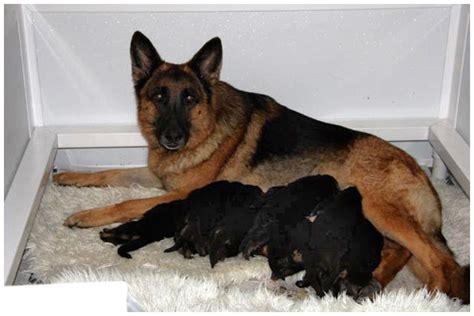 german shepherd newborn puppies newborn german shepherd puppies quotes