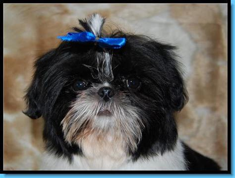 shih tzu has watery tinker