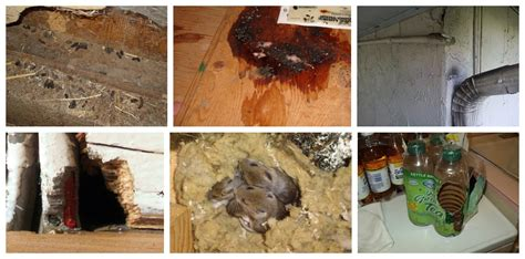 Rat Infestation Kitchen by Rat Inspection Signs Of Rats Where Do Rats Hide