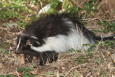 how do you get rid of skunks in your backyard how to get rid of skunks in upstate ny vt nature s way