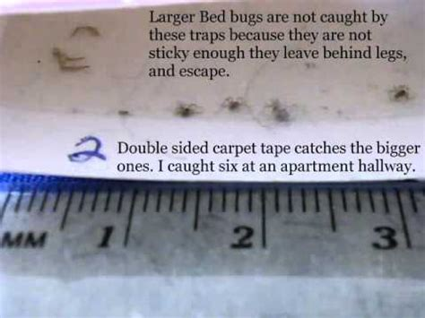 Do Bed Bug Traps Work by Calgary Alberta Bed Bugs 2013 Identify Exles Bedbugs