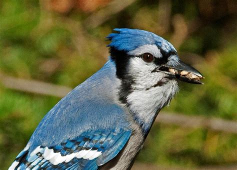 habitat display blue jays interview update october 11