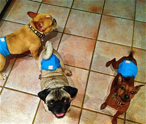 incontinence in dogs how my household deals with incontinence in dogs