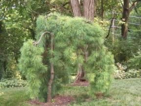 weeping white pine eastern white pine zone 3 height 7