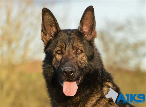 trained dogs trained dogs for sale chico a1k9 family protection trainers