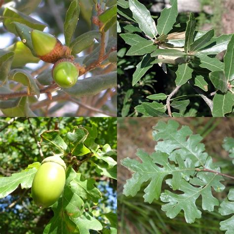 Arbre A Fruits by Ch 234 Ne Wikip 233 Dia