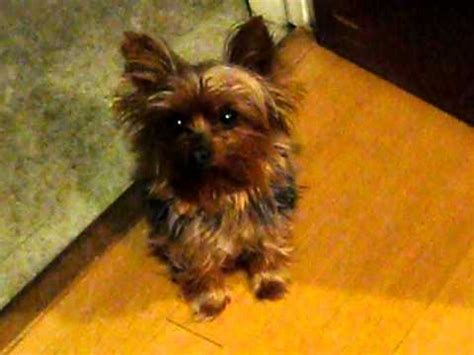 yorkie for attention terrier doovi