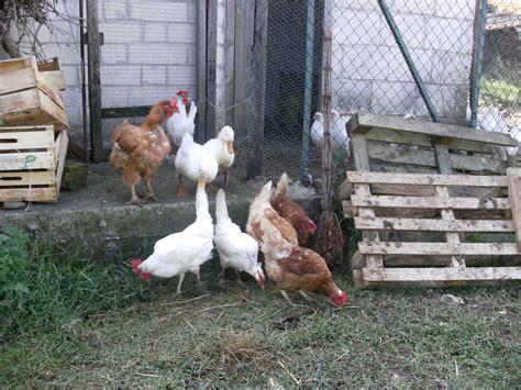 animali da cortile vendita vendita animali da cortile vendita gallina a roma