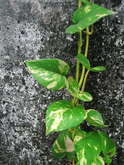 quot creeper plant quot flickr photo sharing