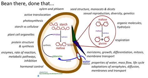 bean plant diagram bean there done that i biology