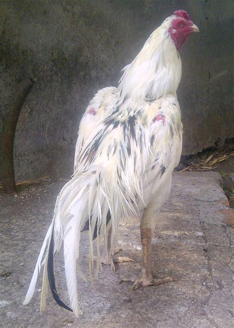 Obat Tradisional Stamina Ayam Bangkok jamu kuat untuk ayam pemberian pilkita pada ayam agar kuat