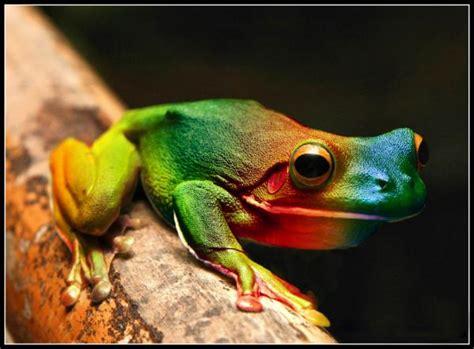 imagenes de la rana kawaii rana arcoiris foto