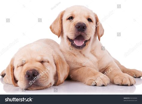 puppy panting in sleep two adorable labrador retriever puppies one sleeping and one panting and