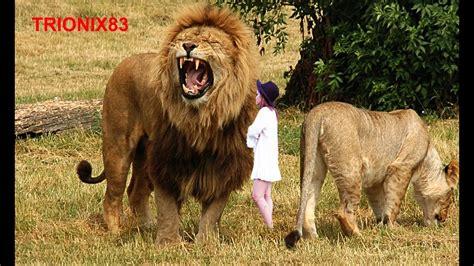 leones imagenes grandes el leon mas grande del mundo los leones mas grandes del