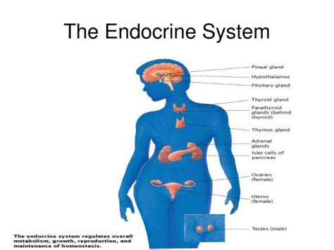 Ppt The Endocrine System Powerpoint Presentation Id Endocrine System Powerpoint