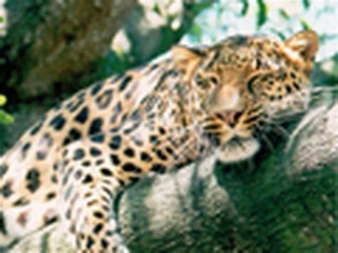 saving the snow leopards big cat rescue meet the leopards of big cat rescue youtube