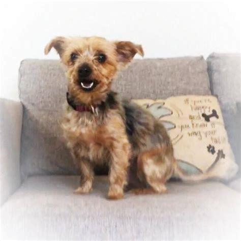 yorkie rescue cleveland ohio live rescue cleveland ohio adoptable dogs