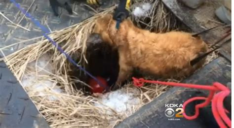 golden retriever rescue pittsburgh firefighters rescue golden retriever from sinkhole in pennsylvania cbs news