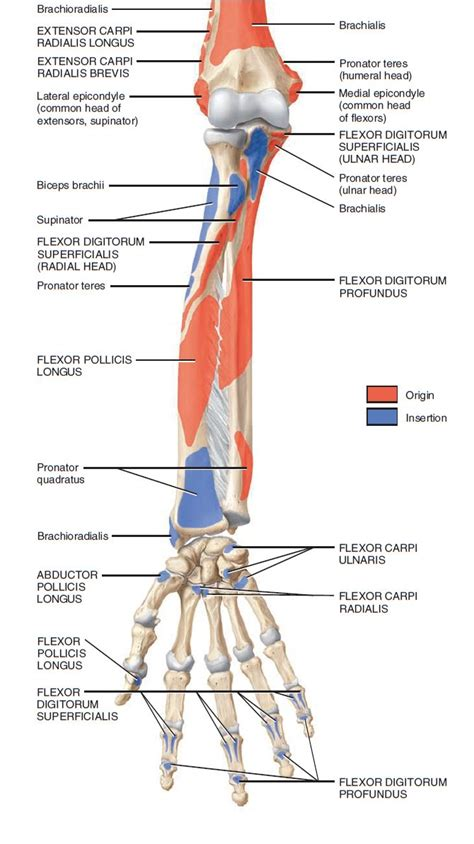 muscle origins and insertions 1572227540 muscles of forearm origin and insertion google 검색 anatomy references arm