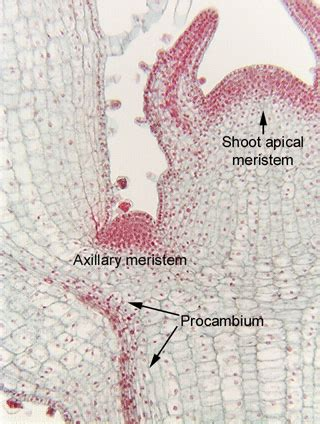 Define Longitudinal Section by Axillary Meristem