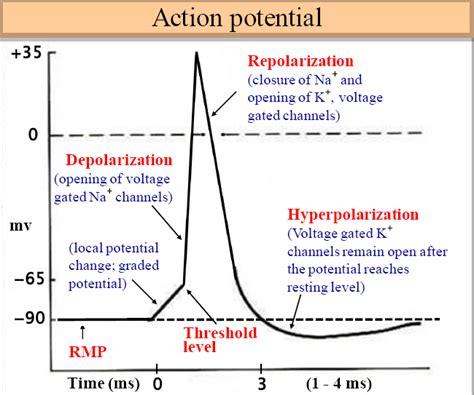 rapid large  reversible change  resting